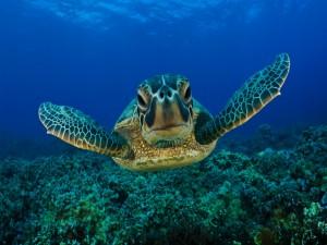 Tortuga-nadando-sobre-el-fondo-del-mar