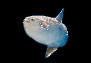 mola mola-buceo-bucear-costabrava-nitrox